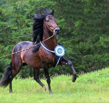 مشخصات ظاهری اسب پروین پاسو