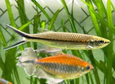 نگهداری ماهی شارک آپولو