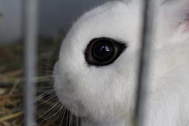 چشمهای خرگوش کوتوله هوتوت