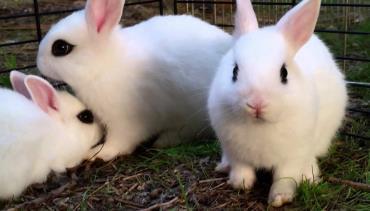 تاریخچه خرگوش هوتوت کوتوله
