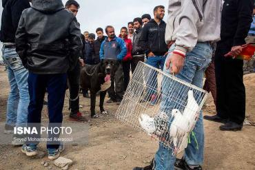 مرغ و خروس در بازار پرندگان مشهد