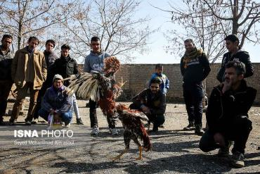 جنگ خروس در بازار پرندگان مشهد