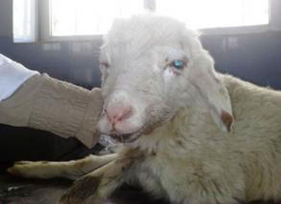 ادم پوزه و پلک چشم در برهی زمینگیر دچار مسمومیت با ایورمکتین