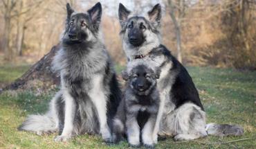 خلق و خوی سگ نژاد شایلو شپرد