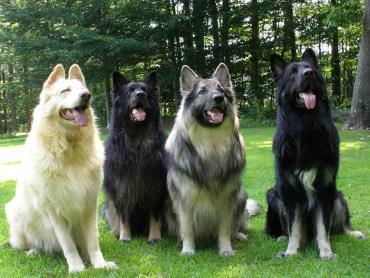 سگ نژاد شایلو شپرد
