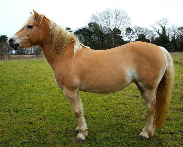 اسب پونی هافلینگر (Haflinger Pony)