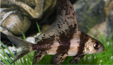 ماهی شارک باله بلند چینی