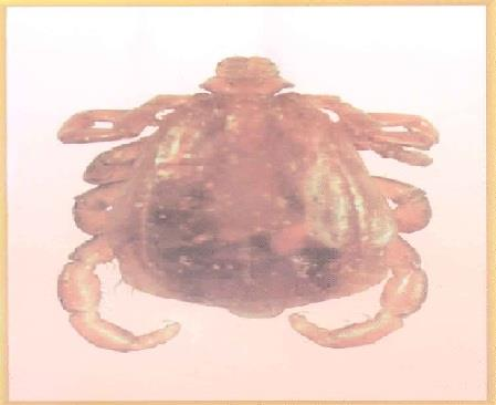 سطح پشتی ریپی سفالوس سنگوئینوس