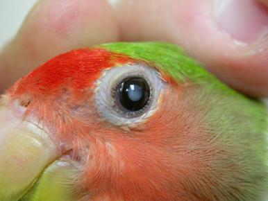 آب مروارید در پرندگان خانگی