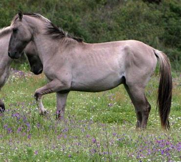 مشخصات اسب پونی سورایا