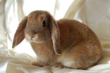 نگهداری خرگوش مینی لوپ