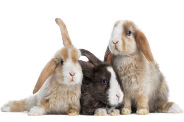 سلامتی خرگوش مینی لوپ