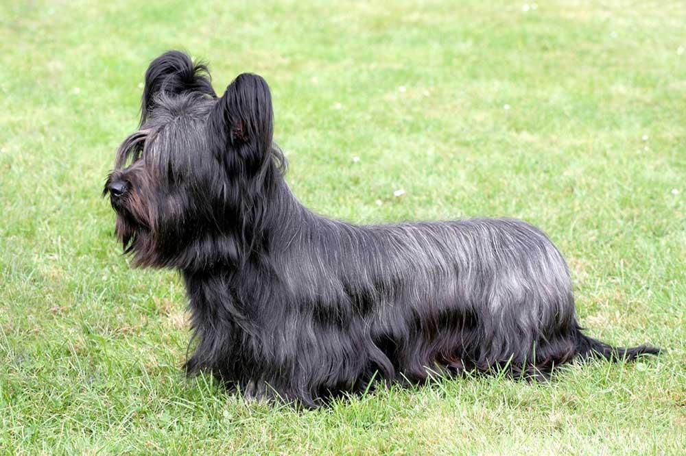 سگ نژاد اسکای تریر (Skye Terrier)