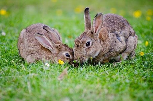 آشنایی با دوران فحلی در خرگوشهای نر و ماده