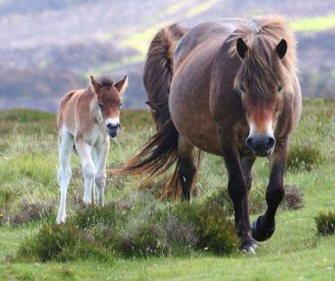 اسب پونی اکسمور و کره اش