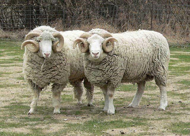 گوسفند نژاد دورست هورن
