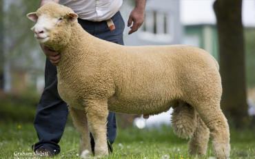 گوسفند دورست هورن