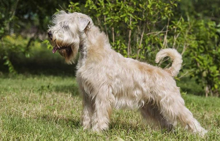 سگ نژاد سافت کوتد ویتن تریر (Soft Coated Wheaten Terrier)