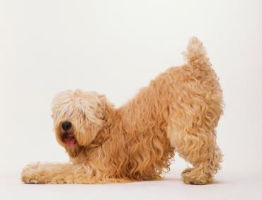 شرایط نگهداری سگ ویتن تریر