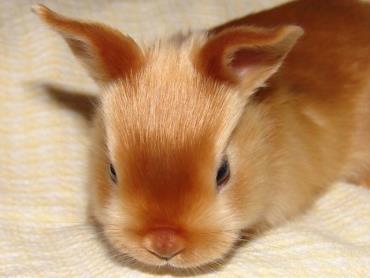 نگهداری از خرگوش مینی ساتین