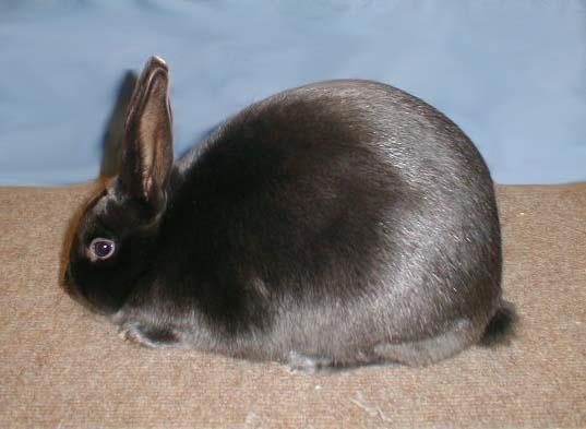 سلامتی خرگوش مینیساتین