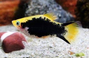 مشخصات ماهی پلاتی تاکسیدو