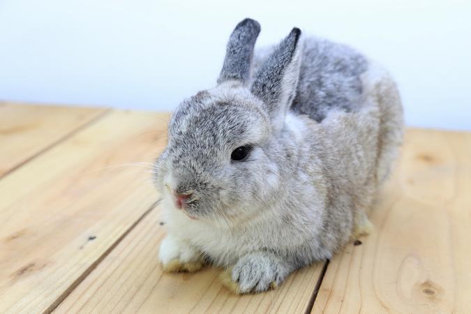 خرگوش کوتوله هلندی