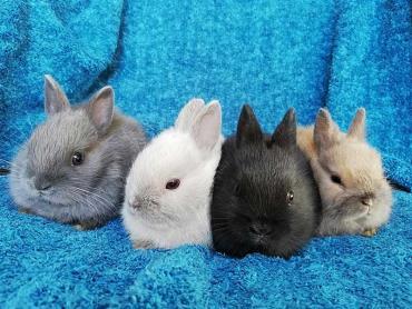 رنگهای خرگوش کوتوله هلندی