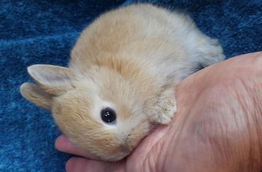 خلق و خوی خرگوش کوتوله هلندی