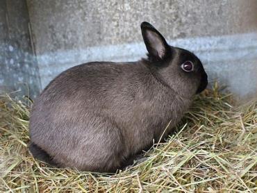 خاستگاه خرگوشهای کوتوله یا خرگوش Dwarf