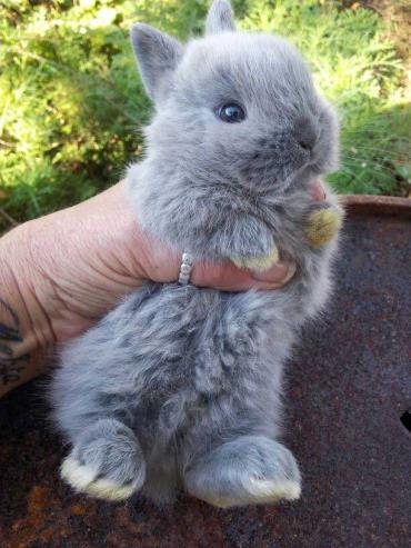نگھداری خرگوش کوتوله هلندی