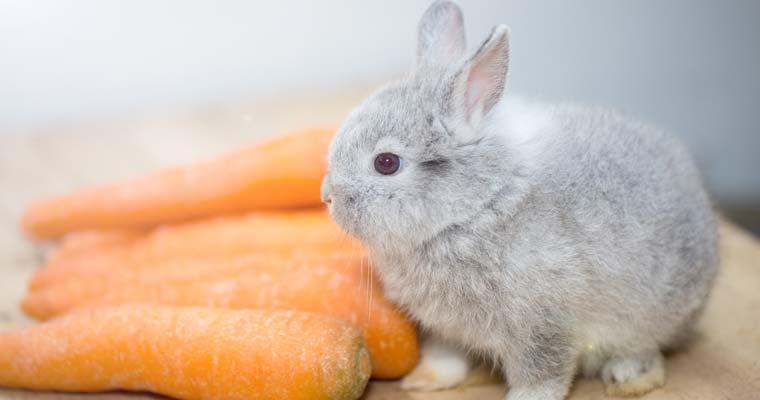 رژیم غذایی خرگوشهای کوتوله