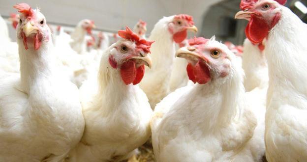 اثرگذاری و دستکاری میکروفلور دستگاه گوارش مرغها