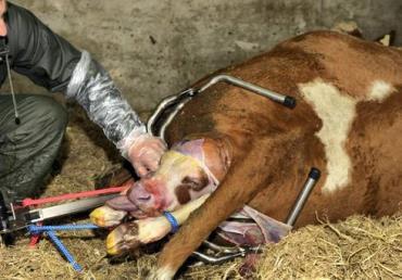 درمان سختزایی گاو