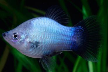 ماهی پلاتی میکی موس آبی