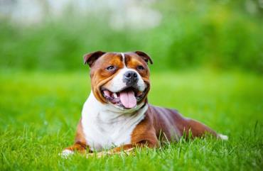 خصوصیات سگ استافوردشایر بول تریر