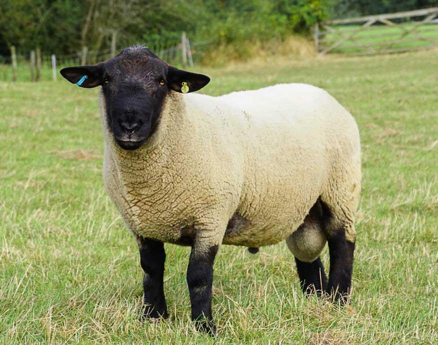 گوسفند نژاد سافولک (Suffolk)