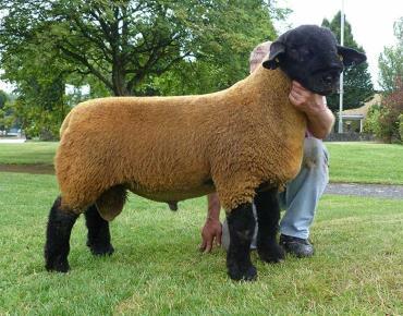 ویژگیهای گوسفند سافولک
