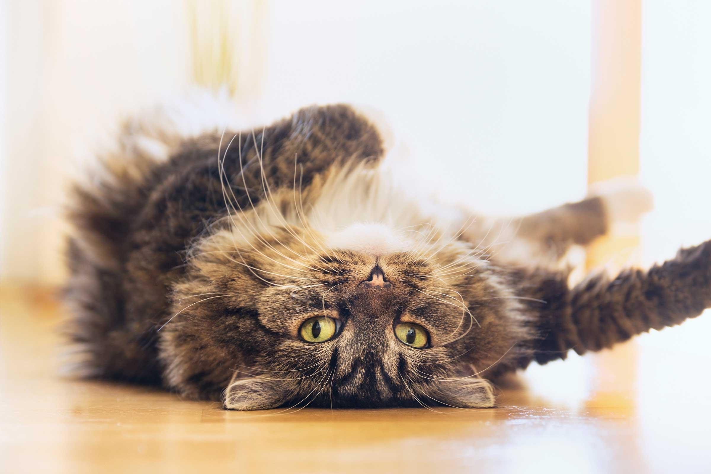 توضیح مفهوم 15 رفتار گربه