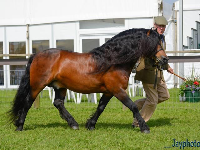 اسب پونی دارتمور (dartmoor pony)