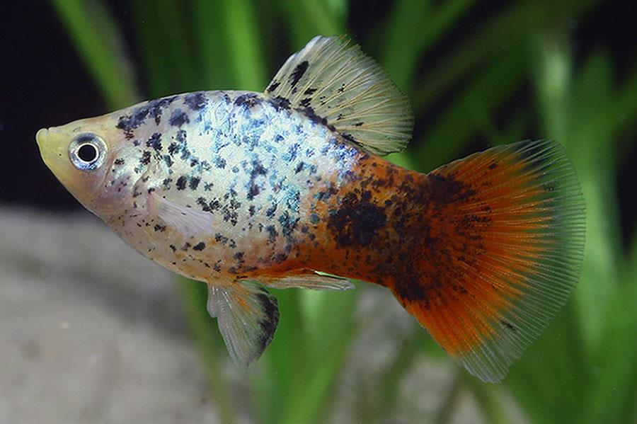 ماهی پلاتی کالیکو (Calico Platy)