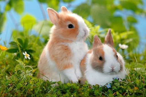 خرگوش لهستانی