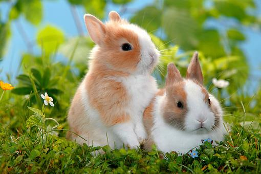 خرگوش لهستانی (Polish Rabbits)