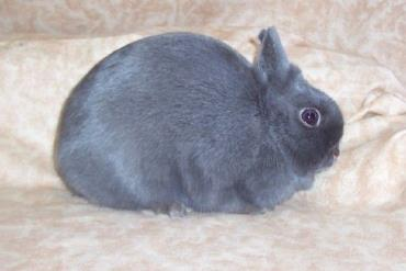 تنوع رنگ خرگوش لهستانی