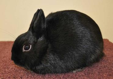 نگهداری و تغذیه خرگوش لهستانی