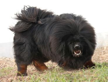 سگ ماستیف تبتی