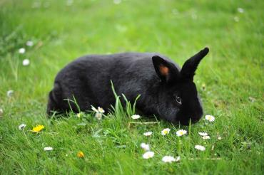 خرگوش نژاد آلاسکایی