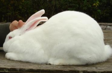 خرگوش نژاد آمریکایی