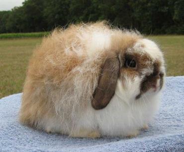 خرگوش فازی لوپ امریکایی