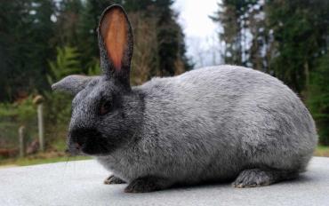 خرگوش آرجنته